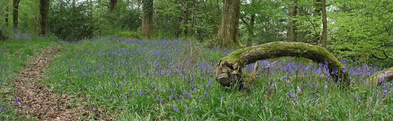 long_moss_wood_bluebells_1.jpg